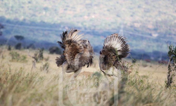 Print: Ostrich Dance in Tsavo