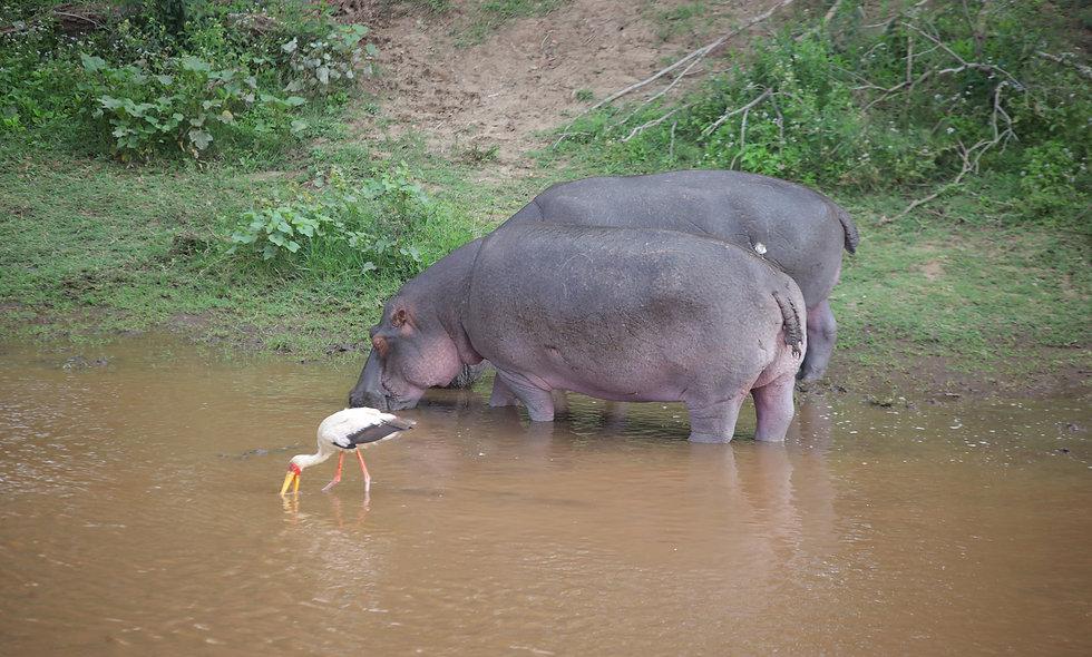 Hippos and Bird by the River (Maasai Mara)