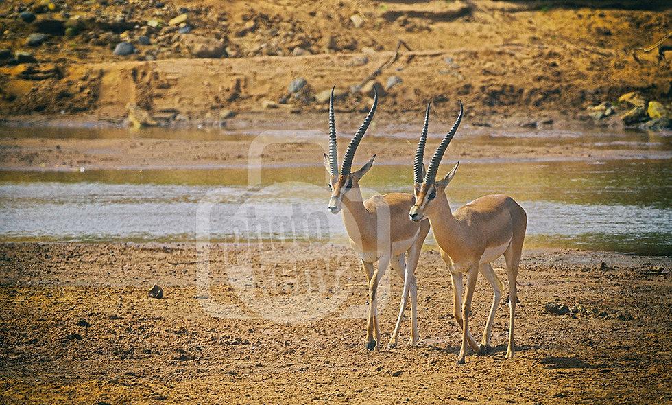 Print: Two Gazelles Walking in Samburu (SMN)