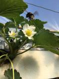 תות שדה פורח ודבור
