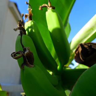בננה מניבה פרי על הגג של מיכל ברמת החיל!