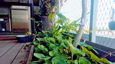 רקפות בר מלבלבות לצד מורינגה ופלפל חריף במרפסת ליד אבן גבירול