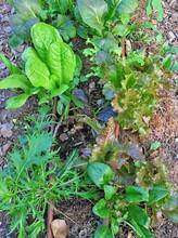 ערוגות ירק בגינה קהילתית