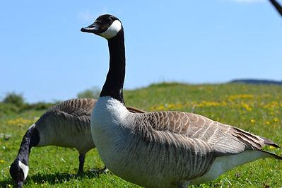 Goose photograph.JPG