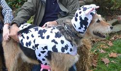 Tucker the Cow