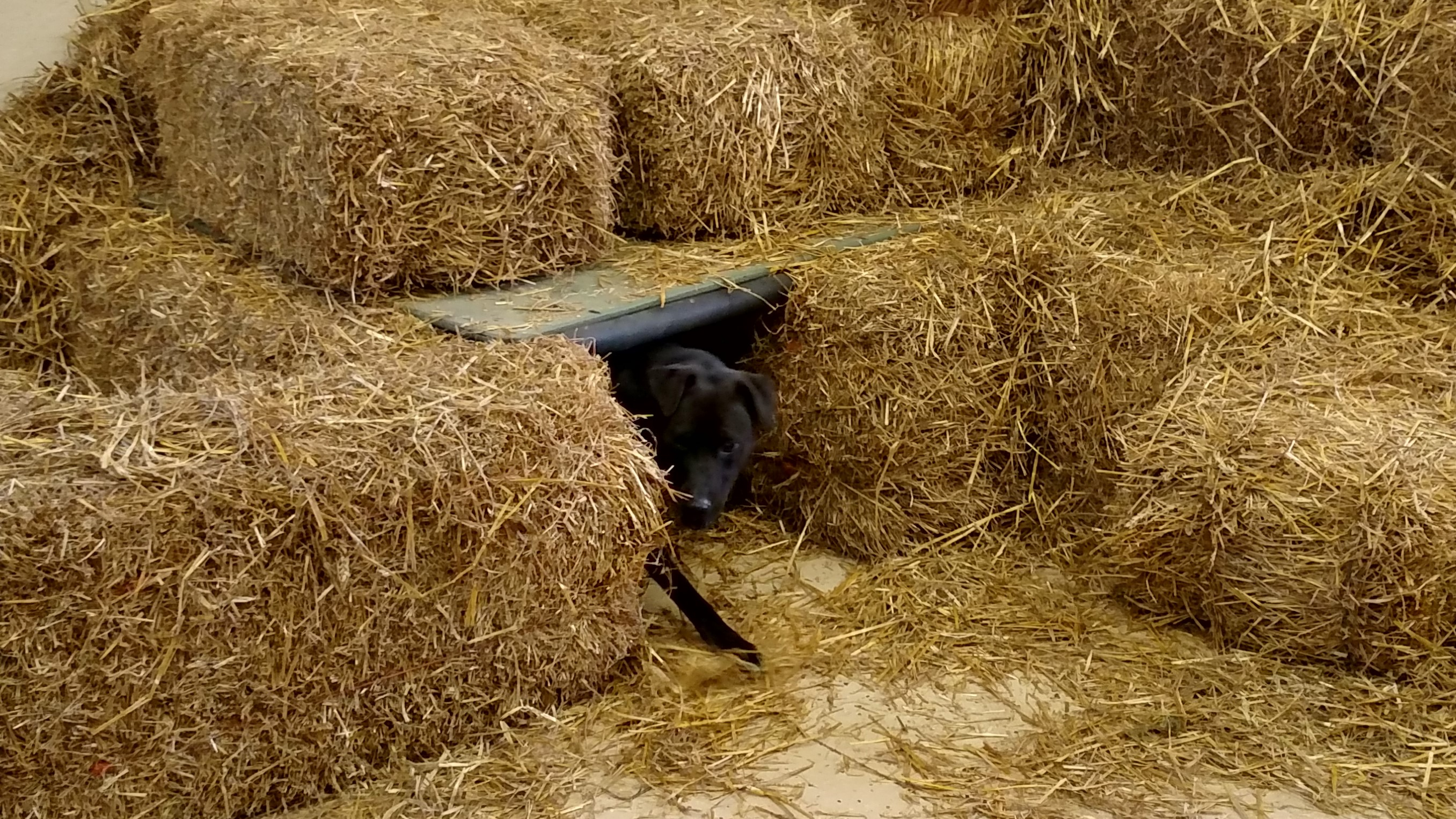 Black dog coming out of tunnel
