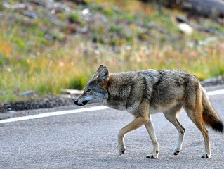 Coyote Responsible for Multiple Irvine attacks is Euthanized
