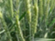 Pšenice přívkového typu
