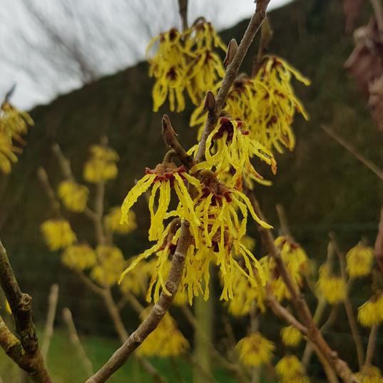 Incroybale floraison hivernale de l'hamamelis