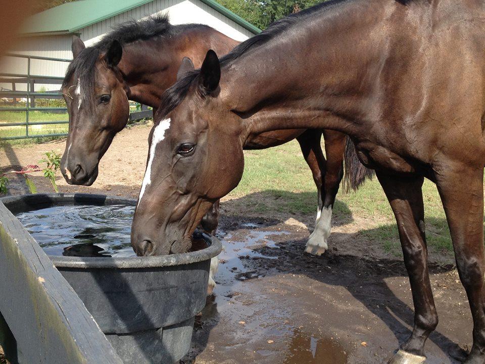 horses drinking.jpg