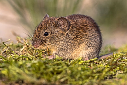 Diseases from rats