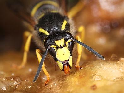 Wasp: Friend of  Foe?