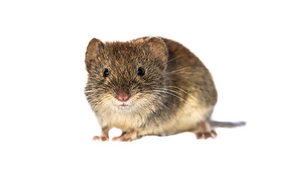 Rats in NSW