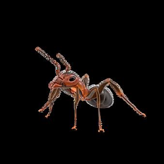 House Ant Body