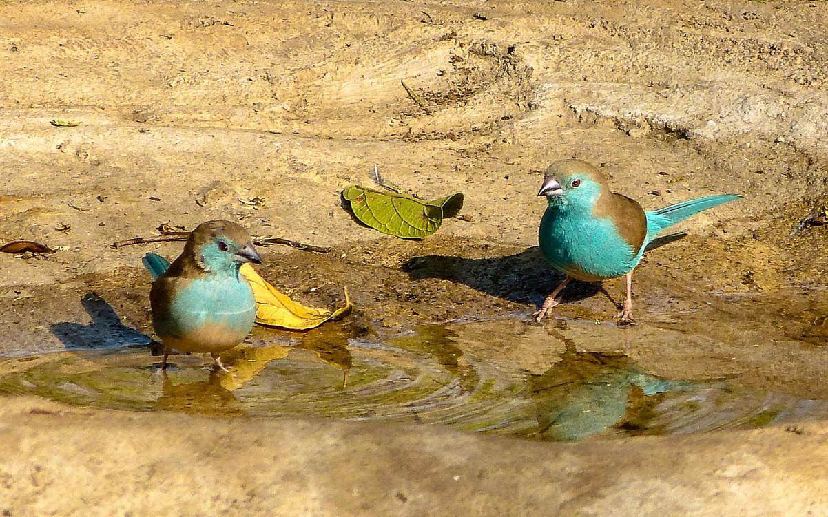 Blue Waxbills, Malawi
