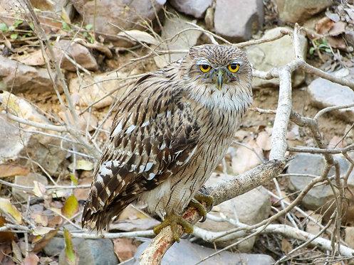 Brown Fish Owl, Ranthambore, India