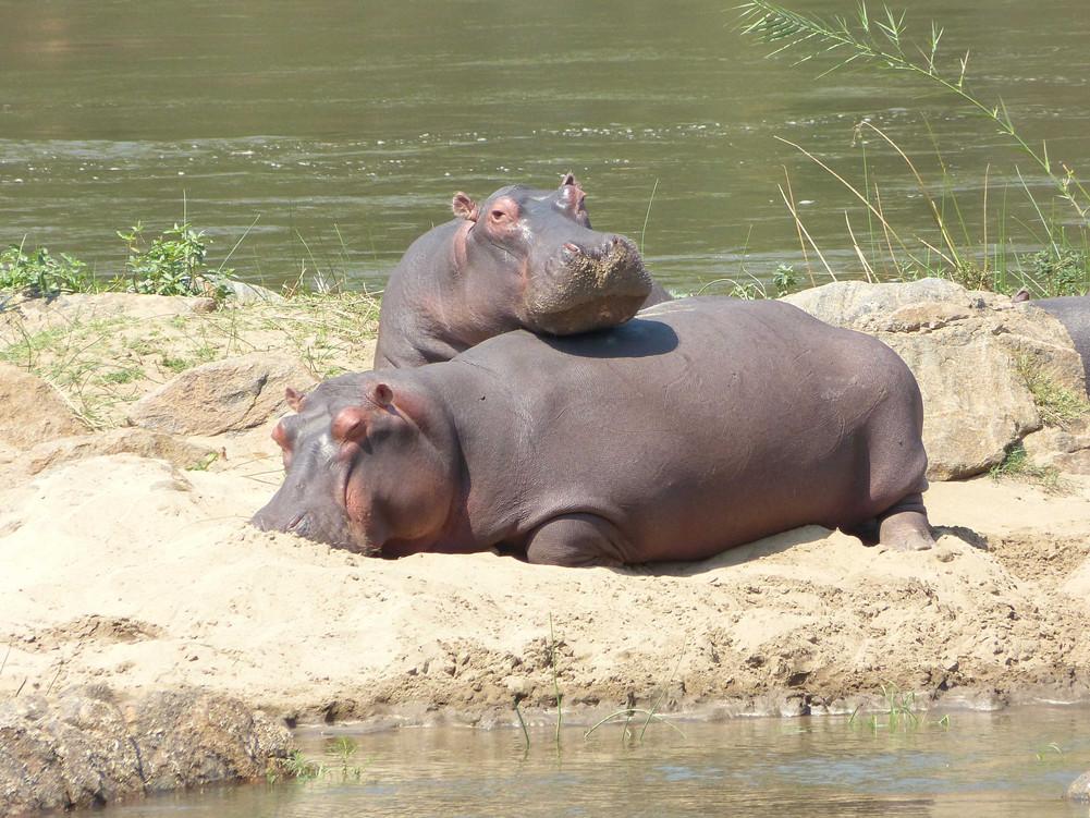 Hippo Family, Malawi