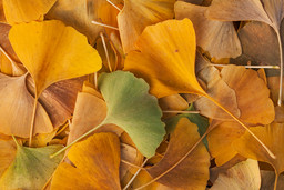 Ginkgo leaves