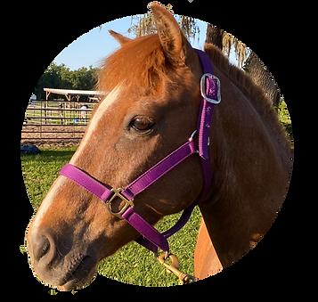 Horses_Comanche.png