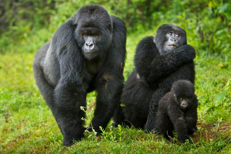 Mountains Gorillas In Rwanda ( The Volcanoes National Park)