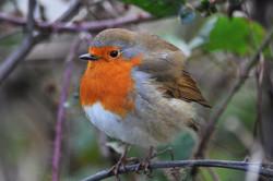 Little Robin Red Breast 1_