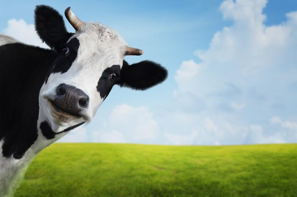 cow's milk allergy, cow, scared, milk, fear, milk, protein, cow