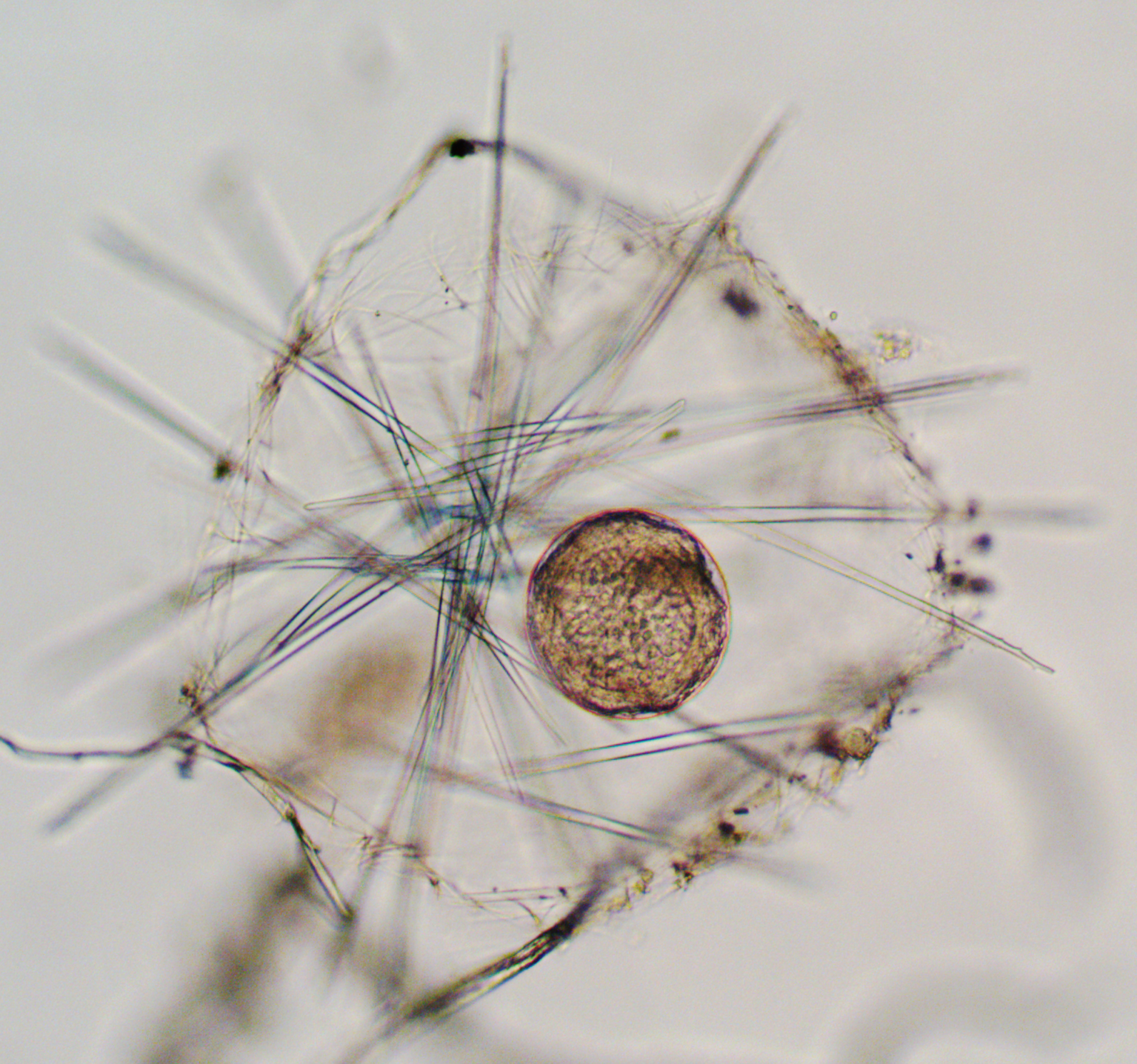 A phaeodarian radiolarian collected off the coast of Northern California