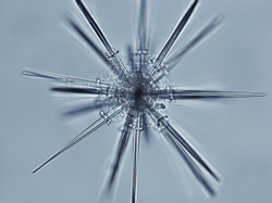 An Acantharian cell from the Solomon Islands