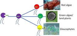 The Archaeplastida polytomy