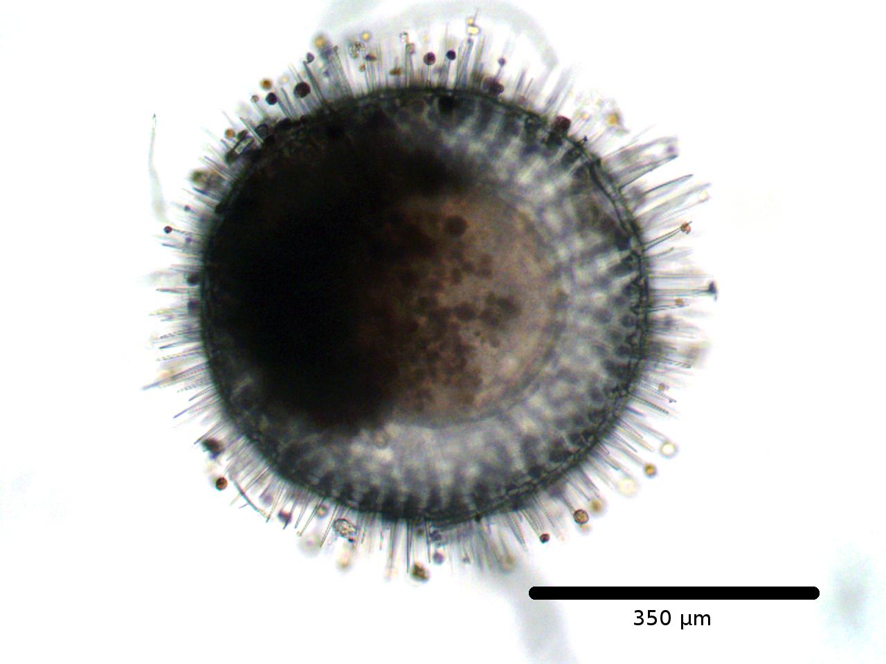 A Phaodarian radiolarian collected off the coast of California
