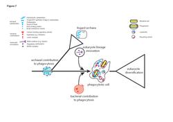 A model for the origins of phagocytosis