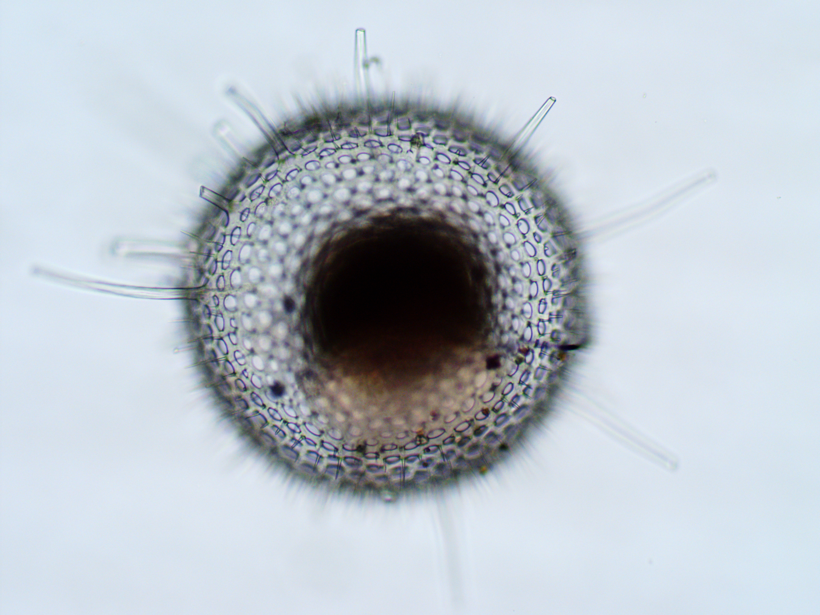 A Phaodarian radiolarian collected off the coast of California