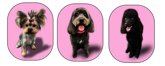 three pictures yorkie poodle maltx.png