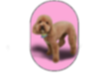 FG Cavoodle example.png