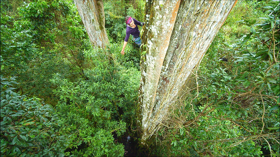 Grace Gabrielson climbing a giant strangler fig tree in the Climbing Giants Movie