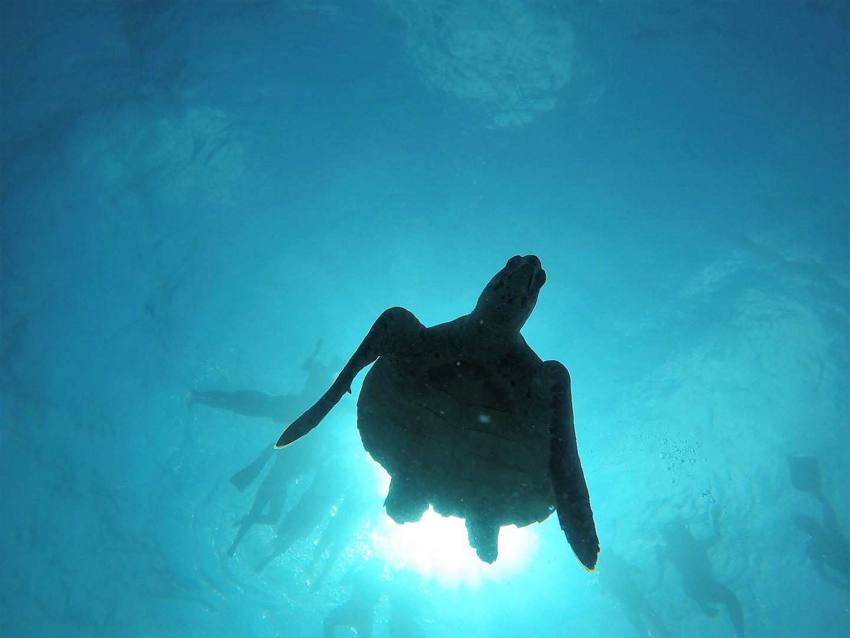 シュノーケリングでもウミガメは見られる!