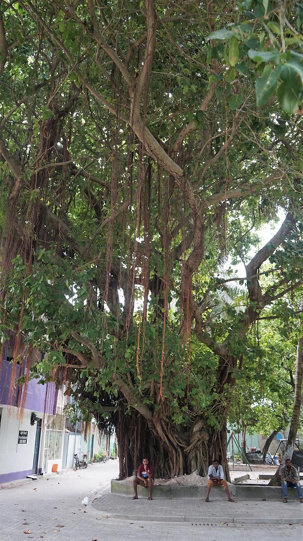 樹齢何百年の素晴らしい巨木を見たいなら、ビリンギリ島に行こう