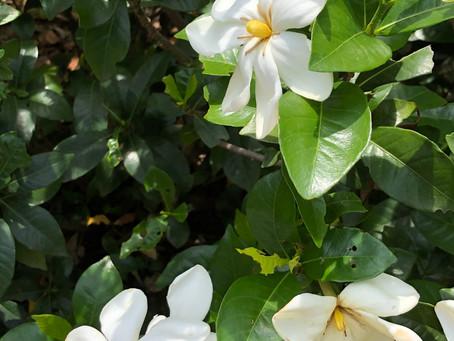 クチナシのお花