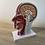 Thumbnail: Anatomiemodel hoofd & hals