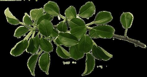 transparent-leaf-plant-flower-tree-branc