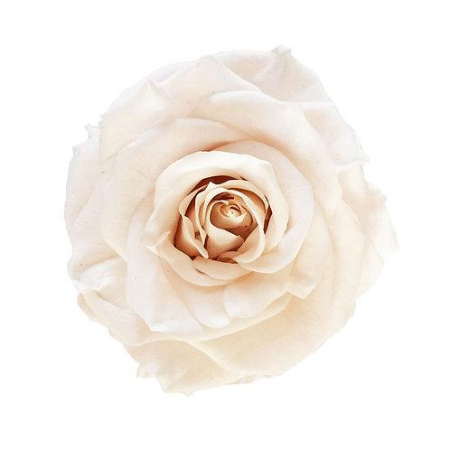 Rosa Perla - Grande