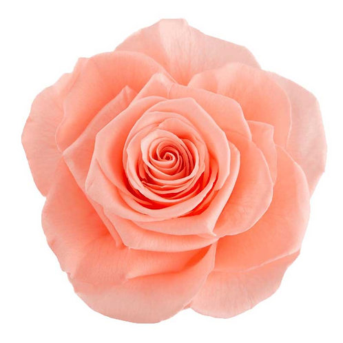 Rosa Salmon (peach) - Grande