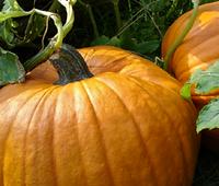 Pumpkins, Port Townsend
