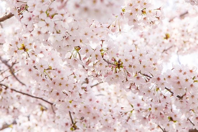 Canva - Cherry Blossom with Soft focus.j