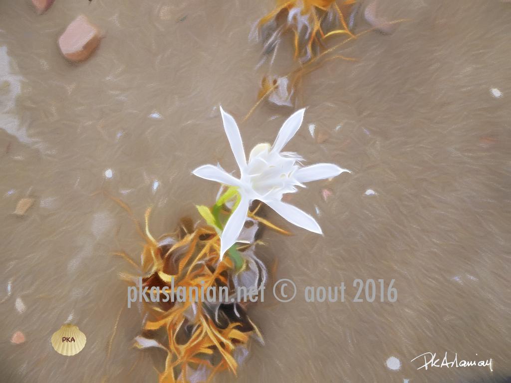 fleur de sable a Xerokampo