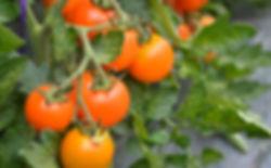 ハウスで成熟するトマト