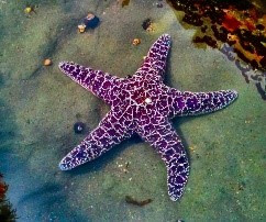 Picture of a purple and white 5 legged star fish