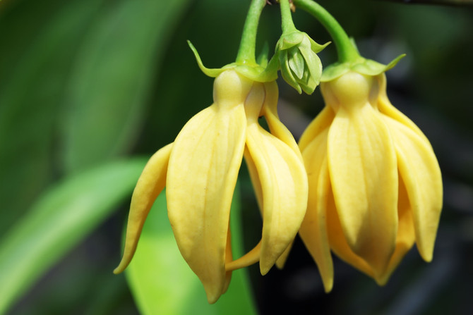 Ylang Ylang : il fiore dei fiori
