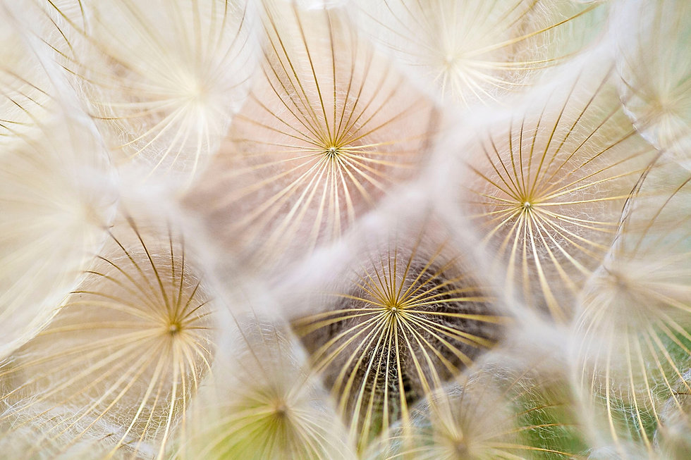 macro dandelion close up