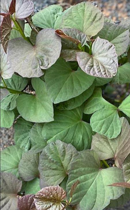 Sweet potatoe leaves in my garden